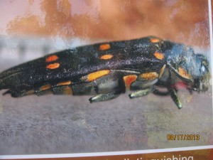 Six orange color dots help identify this pest, although the adult is rarely seen
