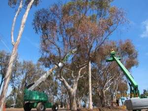 Aerial crown pruning to clean out deadwood