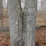 Co-dominant stems crack. (by Cherokee Tree Care).
